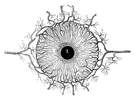 Human Iris, het tonen bloedvaten, vintage gegraveerde illustratie. Usual Geneeskunde Woordenboek door Dr. Labarthe - 1885