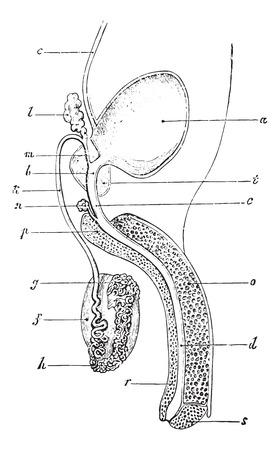 urogenital: Aparato genitourinario o urogenital del hombre, cosecha ilustraci�n grabada. Diccionario Usual Medicina por el Dr. Labarthe - 1885.