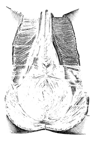 Perineum or Region of the Genitals and Anus, vintage engraved illustration. Usual Medicine Dictionary by Dr Labarthe - 1885