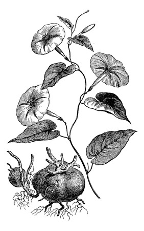 laxative: Jalap or Ipomoea purga, showing flowers and tuberous roots, vintage engraved illustration. Usual Medicine Dictionary by Dr Labarthe - 1885