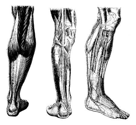 skeletal muscle: Human Leg, showing posterior surface (left), deep posterior region (middle), and deep anterior region(right), vintage engraved illustration. Usual Medicine Dictionary by Dr Labarthe - 1885
