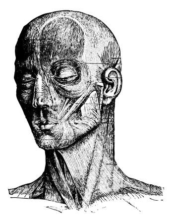 expresion corporal: Los m�sculos de la cara y mejilla humana, cosecha ilustraci�n grabada. Diccionario Usual Medicina por el Dr. Labarthe - 1885