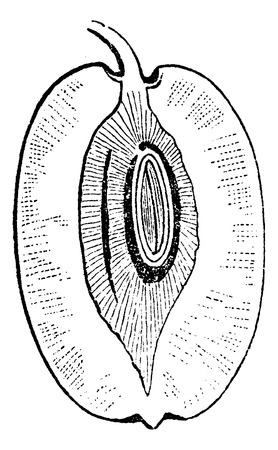 herbology: Jujube or Ziziphus zizyphus, showing fruit cross-section, vintage engraved illustration. Usual Medicine Dictionary by Dr Labarthe - 1885