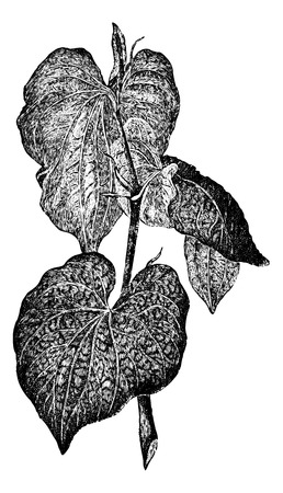herbology: Kava or Piper methysticum, showing leaves, vintage engraved illustration. Usual Medicine Dictionary by Dr Labarthe - 1885
