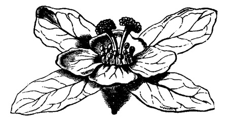 rosaceae: Hagenia or Hagenia abyssinica, showing female flower, vintage engraved illustration. Usual Medicine Dictionary by Dr Labarthe - 1885
