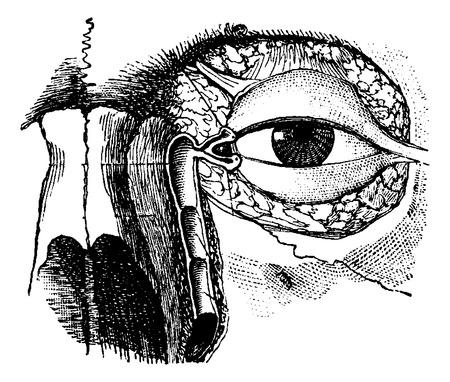 meatus: Nasolacrymal Duct, vintage engraved illustration. Usual Medicine Dictionary by Dr Labarthe - 1885 Illustration