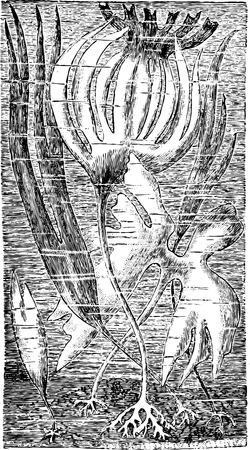 Oarweed or Laminaria digitata, vintage engraved illustration. Usual Medicine Dictionary by Dr Labarthe - 1885