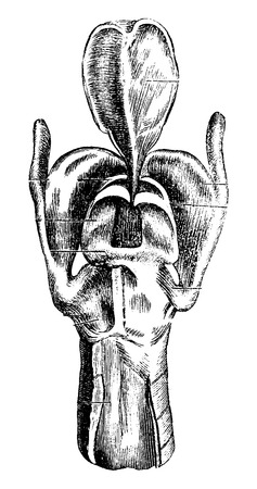 larynx: Posterior View of the Larynx showing Laryngeal Cartilages, vintage engraved illustration. Usual Medicine Dictionary by Dr Labarthe - 1885