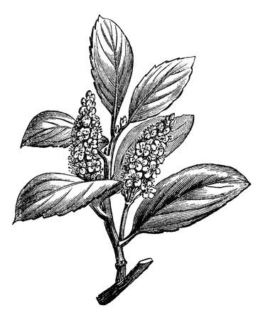 체리 로렐 또는 벚나무 laurocerasus 보여주는 꽃, 빈티지 새겨진 그림. 박사 Labarthe하여 일반적인 의학 사전 - 1885 일러스트