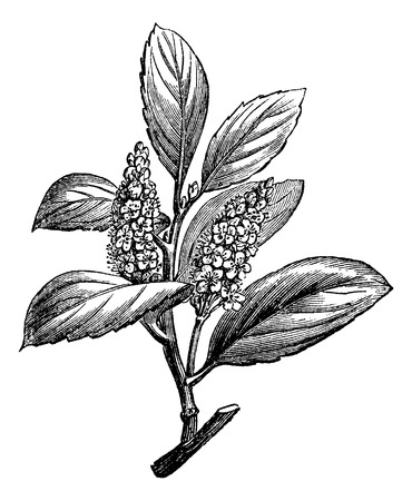 dr: Cherry Laurel or Prunus laurocerasus, showing flowers, vintage engraved illustration. Usual Medicine Dictionary by Dr Labarthe - 1885