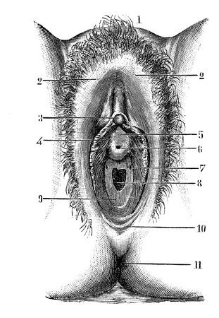 anus: Vulva in virgin, vintage engraved illustration. Magasin Pittoresque 1875.