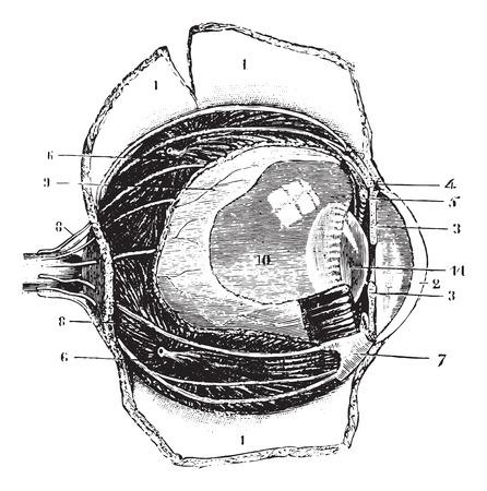 optic nerves: Cutting the antero-posterior eye, vintage engraving. Illustration