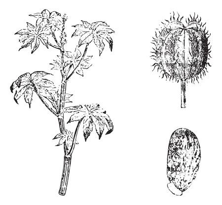 Ricin, vintage engraved illustration. Usual Medicine Dictionary by Dr Labarthe - 1885. Ilustracja