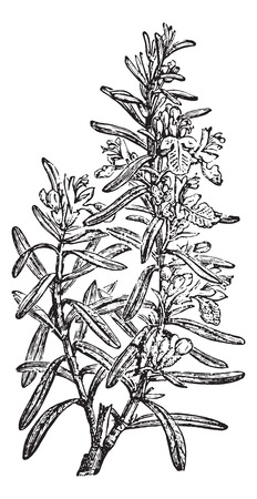 officinalis: Rosemary or Rosmarinus officinalis or Anthos, vintage engraved illustration. Usual Medicine Dictionary by Dr Labarthe - 1885.