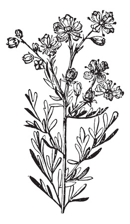 ruta: Rue or Ruta Graveolens or Common Rue or Herb-of-grace, vintage engraved illustration. Usual Medicine Dictionary by Dr Labarthe - 1885.