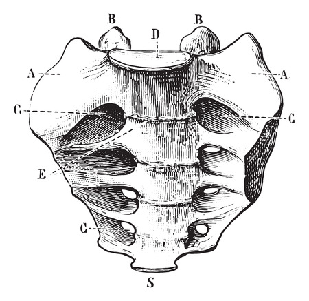 Sacrum seen by its front face, vintage engraved illustration. Usual Medicine Dictionary by Dr Labarthe - 1885. Illustration