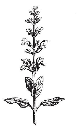 medical drawing: Sage or Salvia, vintage engraved illustration. Usual Medicine Dictionary by Dr Labarthe - 1885. Illustration