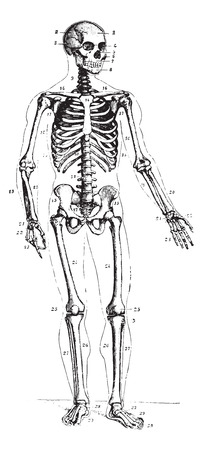 dr: Skeleton, front view, vintage engraved illustration. Usual Medicine Dictionary by Dr Labarthe - 1885.