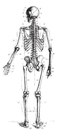 medical drawing: Skeleton, rear view, vintage engraved illustration. Usual Medicine Dictionary by Dr Labarthe - 1885. Illustration