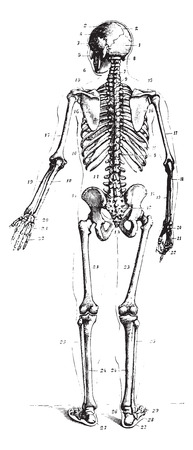 Squelette, vue arrière, illustration vintage gravé. Dictionnaire de médecine d'habitude par le Dr Labarthe - 1885. Vecteurs