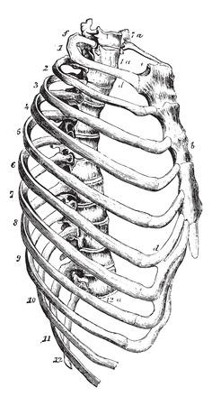 usual: Sternum, vintage engraved illustration. Usual Medicine Dictionary by Dr Labarthe - 1885. Illustration