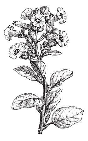 tobacco plant: Rustica tobacco or Nicotiana rustica or Mapacho or Thuoc lao, vintage engraved illustration. Usual Medicine Dictionary by Dr Labarthe - 1885. Illustration