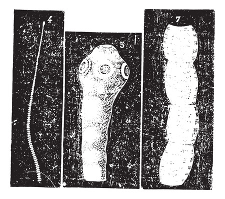 usual: Taenia solium or Pork tapeworm, vintage engraved illustration. Usual Medicine Dictionary by Dr Labarthe - 1885.