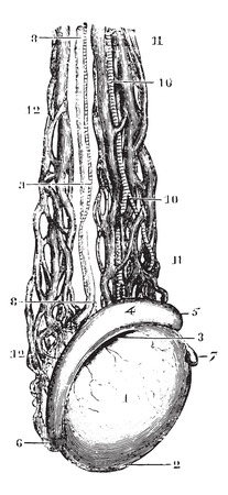 testicles: Testicular vein or Spermatic veins, vintage engraved illustration. Usual Medicine Dictionary by Dr Labarthe - 1885.