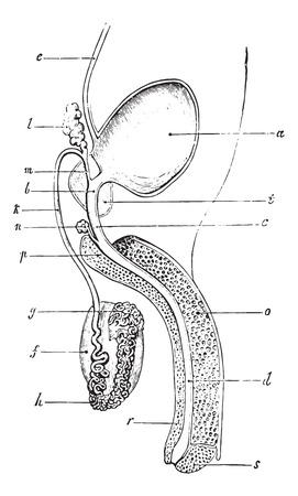 testis: Genitourinary or urogenital system of man, vintage engraved illustration. Usual Medicine Dictionary by Dr Labarthe - 1885.