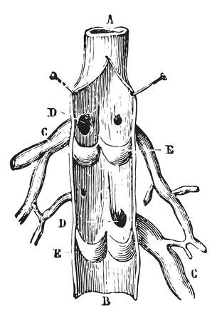 Vein Longitudinal section, vintage engraved illustration. Usual Medicine Dictionary by Dr Labarthe - 1885. Vector