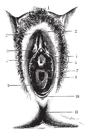 pubis: Vulva in virgin, vintage engraved illustration. Usual Medicine Dictionary by Dr Labarthe - 1885.