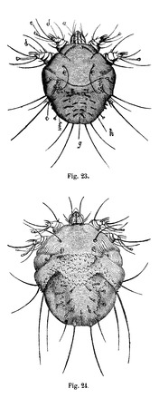 magasin pittoresque: Fig. 23. Mange mites, male. with four pairs of legs, Fig. 24. Mange mites, female, vintage engraved illustration. Magasin Pittoresque 1875. Illustration