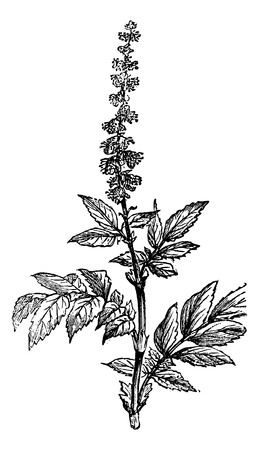 rosaceae: Flowering of Agrimony or Agrimonia, vintage engraved illustration. Magasin Pittoresque 1875.