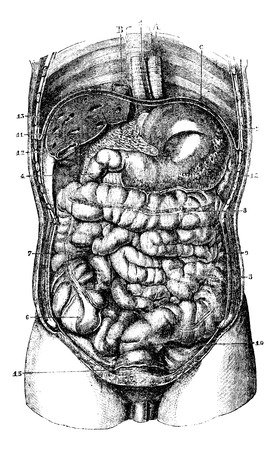 1. Esophagus. 2. Stomach. 3.Orifice pyloric stomach. 4. Duodenum. 5. Small intestine. 6. Caecum. 7. Ascending colon. 8. Transverse Colon. 9. Descending colon. 10. Rectum. 11. The liver. 12. Gall bladder removed. 13. Hepatic vein adherent to the tissue of