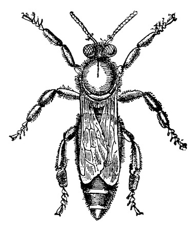 Female or queen bee, vintage engraved illustration. Magasin Pittoresque 1875. Illustration