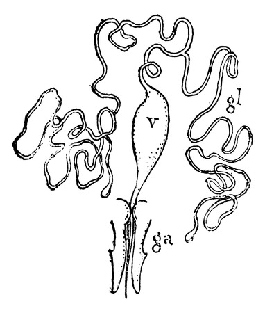 reservoir: Equipment has bee venom. gl, venom gland. v, the venom reservoir. a, sting. ga, Sagain, vintage engraved illustration. Magasin Pittoresque 1875.