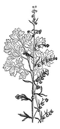 ajenjo: Gran ajenjo, cosecha ilustración grabada. Magasin Pittoresque 1875. Vectores