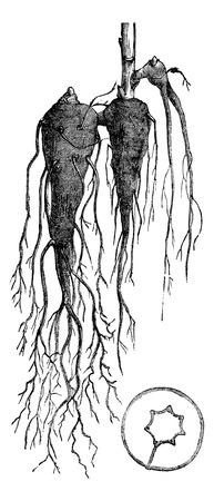 plants species: Aconitum. Radice intero e il taglio, vintage illustrazione inciso. Aconitum o Aconitum o monkshood o aconito o Bane del leopardo o Bane delle donne o il casco del Diavolo o blu razzo. Magasin Pittoresque 1875. Vettoriali