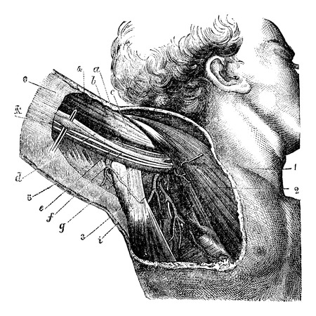 median: Region of the armpit., vintage engraved illustration. Magasin Pittoresque 1875.