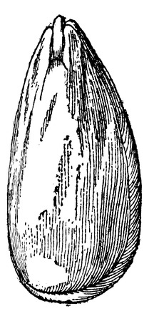 Almond, vintage engraved illustration. Magasin Pittoresque 1875.