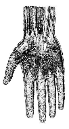 Diepe laag van de hand (palmaire zijde), vintage gegraveerde illustratie. Gebruikelijke Geneeskunde Woordenboek - Paul Labarthe - 1885.