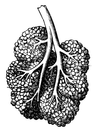 Breast lobe, vintage engraved illustration. Usual Medicine Dictionary - Paul Labarthe - 1885. Ilustrace