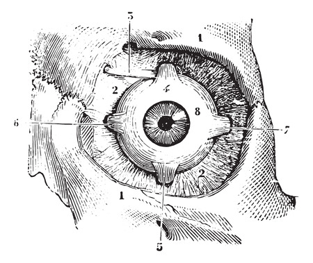 fascia: Eye muscles and fascia orbitofrontal palpebra eye, vintage engraved illustration. Usual Medicine Dictionary - Paul Labarthe - 1885.