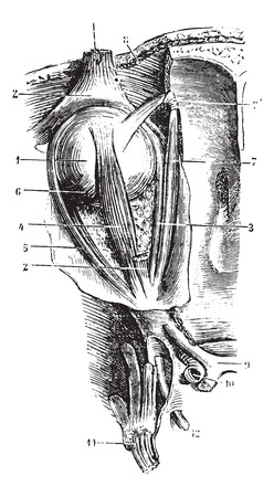 carotid artery: Eye muscles, vintage engraved illustration. Usual Medicine Dictionary - Paul Labarthe - 1885.