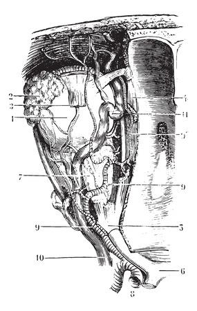 Bloedvaten en zenuwen van de baan, vintage gegraveerde illustratie. Gebruikelijke Geneeskunde Woordenboek - Paul Labarthe - 1885.