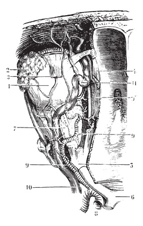 Vessels and nerves of the orbit, vintage engraved illustration. Usual Medicine Dictionary - Paul Labarthe - 1885. Vettoriali
