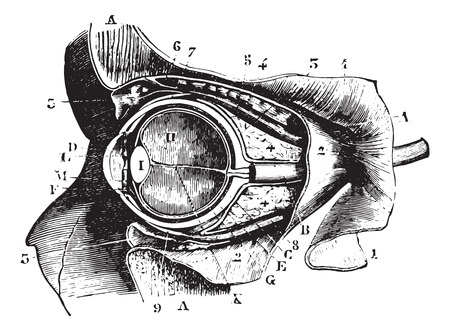 fascia: Section perpendicular to the orbit and eyeball, vintage engraved illustration. Usual Medicine Dictionary - Paul Labarthe - 1885.