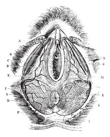 Perineum bij vrouwen, vintage gegraveerde illustratie. Gebruikelijke Geneeskunde Woordenboek - Paul Labarthe - 1885.