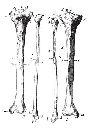 usual: Skeleton of the leg, vintage engraved illustration. Usual Medicine Dictionary - Paul Labarthe - 1885.