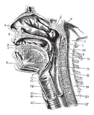 eustachian: Cup antero-posterior of the oral cavity and throat back revealing the cavity of the pharynx, vintage engraved illustration. Usual Medicine Dictionary - Paul Labarthe - 1885.